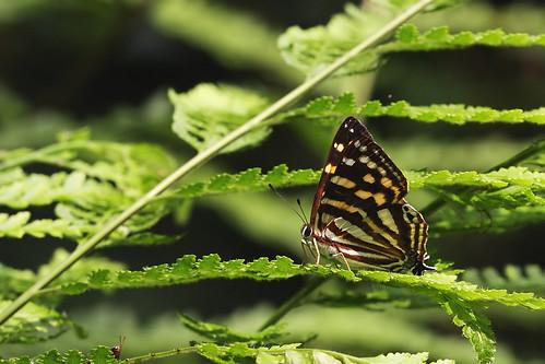 銀紋尾蜆蝶;孫金星攝影。