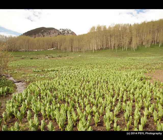 Corn lilies (Veratrum californicum)