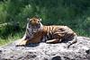 m tiger cr  IMG_5955