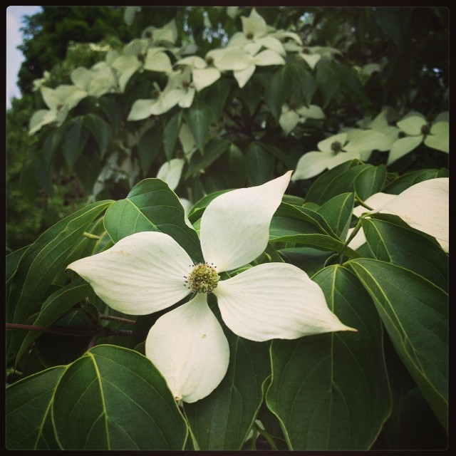 Dogwood (on my walk home from campus)