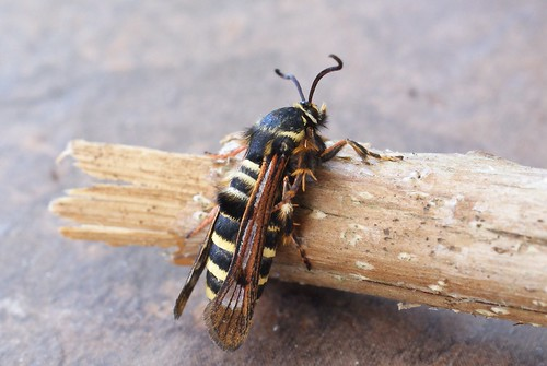 Raspberry Clearwing (Pennisetia hylaeiformis)