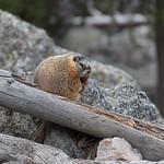 Phil 2, marmot