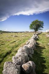 Un muret en granit et un hêtre sur l'Aubrac - A wall of granite and a beech in Aubrac region