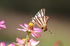 Flambé (Butterfly)