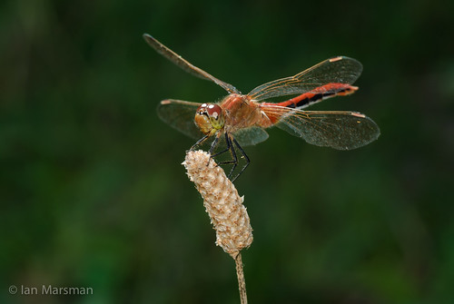 ca canada macro bc invertebrates lumby drgonflies
