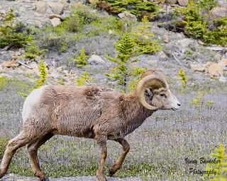 Ram on the run