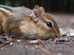 fox squirrel(0.0), muridae(0.0), degu(0.0), animal(1.0), squirrel(1.0), rodent(1.0), pet(1.0), nature(1.0), mouse(1.0), fauna(1.0), close-up(1.0), chipmunk(1.0), whiskers(1.0), wildlife(1.0),