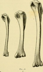 """Image from page 132 of """"The structure and life of birds"""" (1895)"""