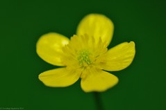 Hispid Buttercup #3