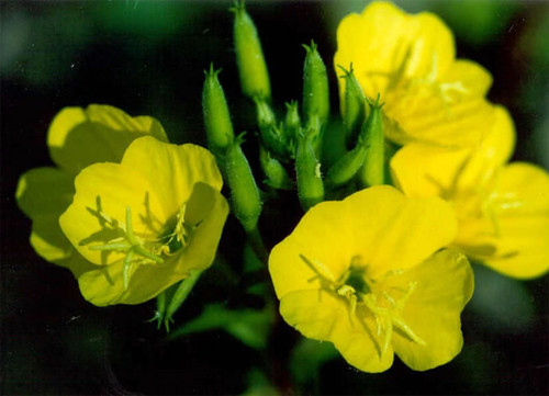 Evening primrose flower (Onagraceae). (US Forest Service)