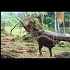 Philippine Sambar Deer #OnlyInThePhilippines