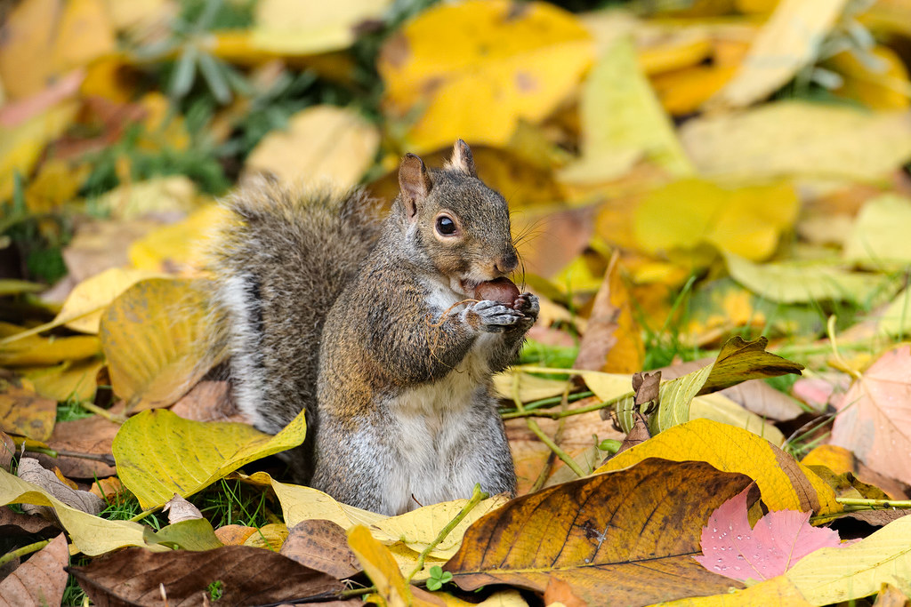 An eastern gray eats an acorn amidst the fall leaves in our backyard