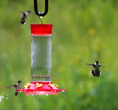 animal, hummingbird, bird feeder, bird,