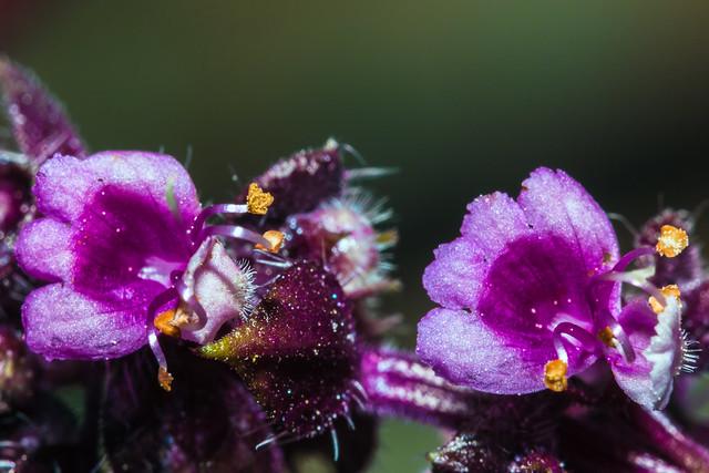 how to use purple basil
