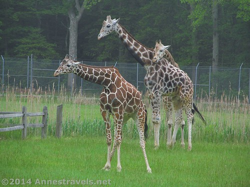 Giraffes at the Cape May Zoo, New Jersey