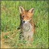 Red Fox (image 1 of 2)