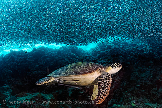 PH: Turtle and Sardines by Henry Jager (Flickr)