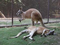 vicuã±a(0.0), guanaco(0.0), wallaby(1.0), animal(1.0), zoo(1.0), marsupial(1.0), mammal(1.0), kangaroo(1.0), fauna(1.0), wildlife(1.0),