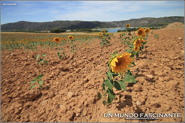 Campo de Girasoles en Buendia