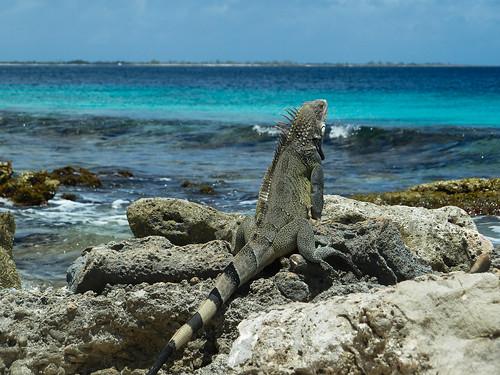 animalplanet bonaire iguanaiguana kralendijk greeniguana grünerleguan besonderegemeinde bonairenetherland