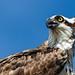 Osprey by ghostrider_200
