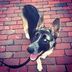 Beautiful Rileyberry. #shepsky #husky #GSD #germanshepherddog #puppy #beautiful