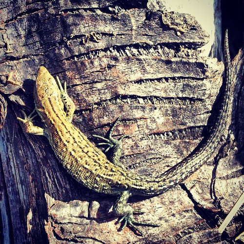 Having a nice bask  #lizard