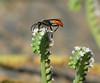 Grasshopper-hunter Wasp on Fiddleneck by vnelson