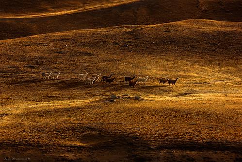 mountains yellow landscape llama bolivia llamas cochabamba tunari canon550d tunarinationalpark