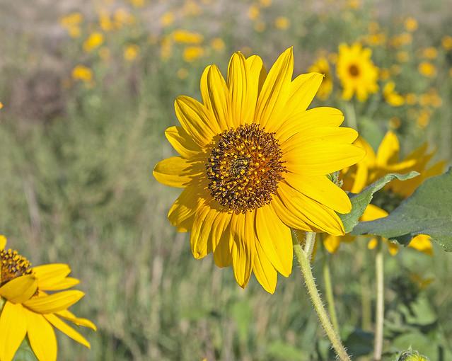 Sun Flower_1176