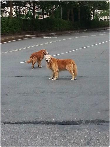「發現」新北市汐止汐萬路民視旁邊~發現兩隻淋濕的黃金獵犬~有人遺失黃金嗎?有人可以幫助牠嗎?謝謝您!20140926