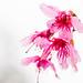 Sakura HK by jonathan.leung