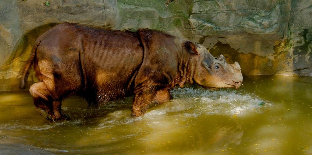 Sumatran Rhinoceros (Dicerorhinus sumatrensis)_28