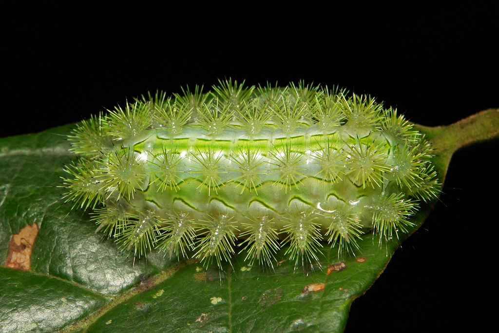 Late Instar Stinging Nettle Slug Caterpillar (Cup Moth, Susica sinensis, Limacodidae)