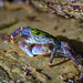 Striped Shore Crab, Cabrillo National Monument by marclaurence2000
