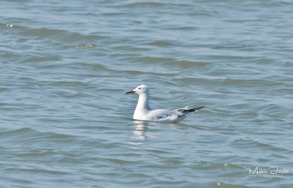 Slender-billed Gull [Gaviota Picofina]