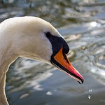 A Swan in St James Park