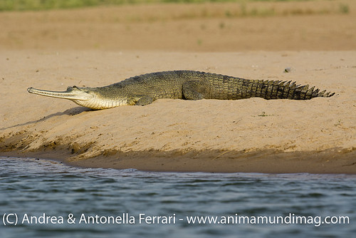 reefwondersdotnet posted a photo:	Gharial Gavialis gangeticus, Chambal River Sanctuary, India