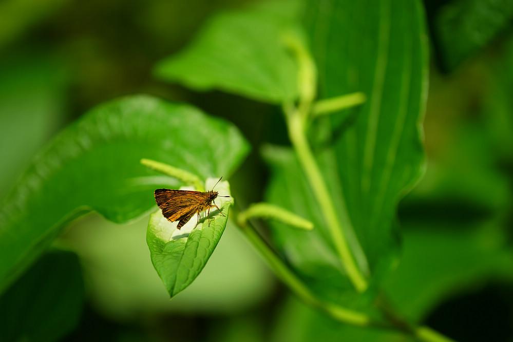 黃星弄蝶屬黃星弄蝶14S101