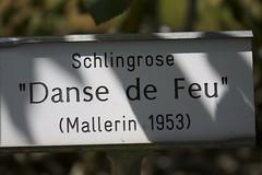"Schlingrose ""Danse de Feu"" ( Mallerin 1953 )"
