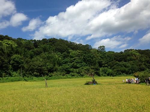 石虎米農事體驗及保育工作坊,40多人湧入農田,讓楓樹里變得很熱鬧!