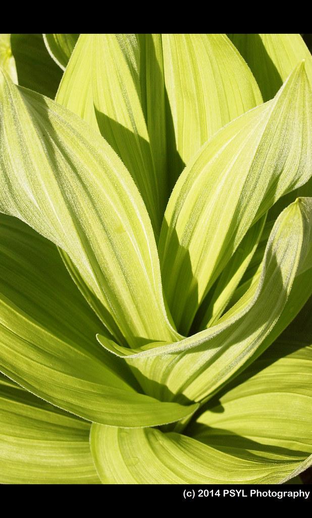 Corn lily (Veratrum californicum)