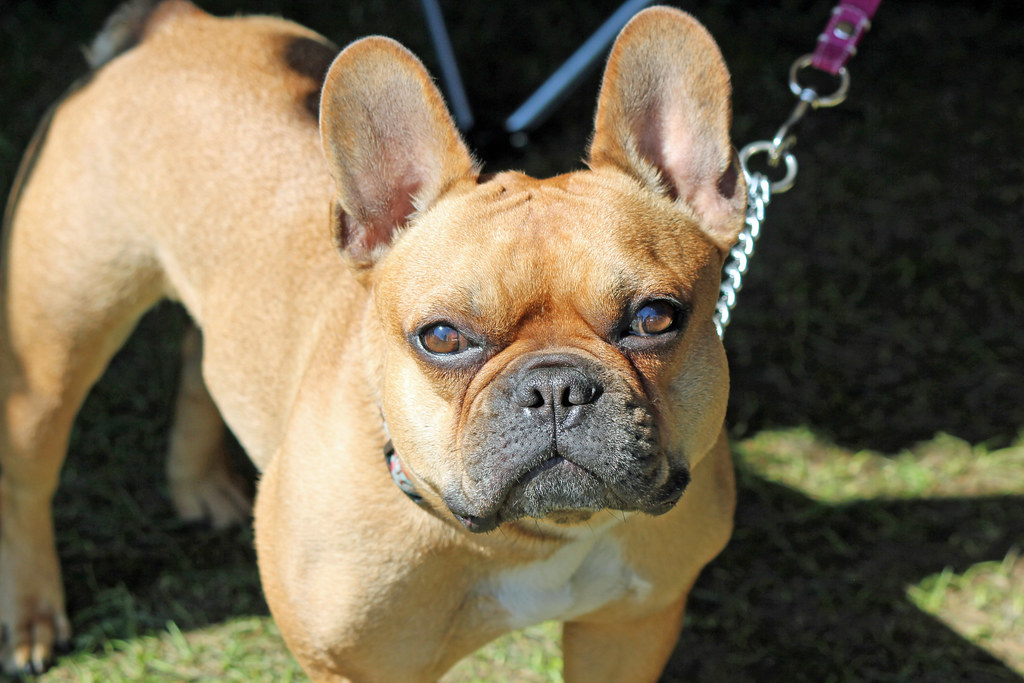 French Bulldog 0849