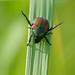 Japanese Beetle - (Popillia japonica) (183/365)