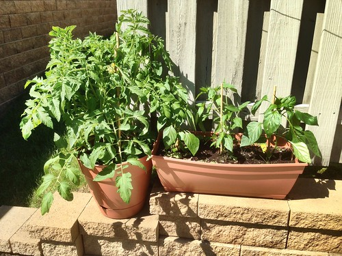 Tomato and peppers in containers.  Peppers are newly staked using bamboo.