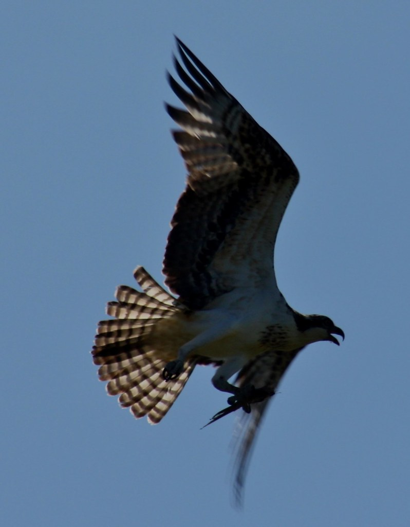 Hawk in flight III