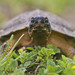 Juvenile Wood Turtle by J Gilbert