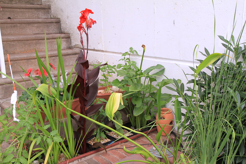 Aquaponic veggie filter sqwibs urban gardening adventure for Pond veggie filter
