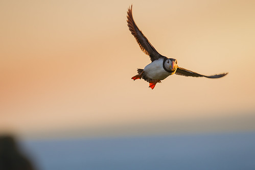 Flying Puffin - Skomer 2014