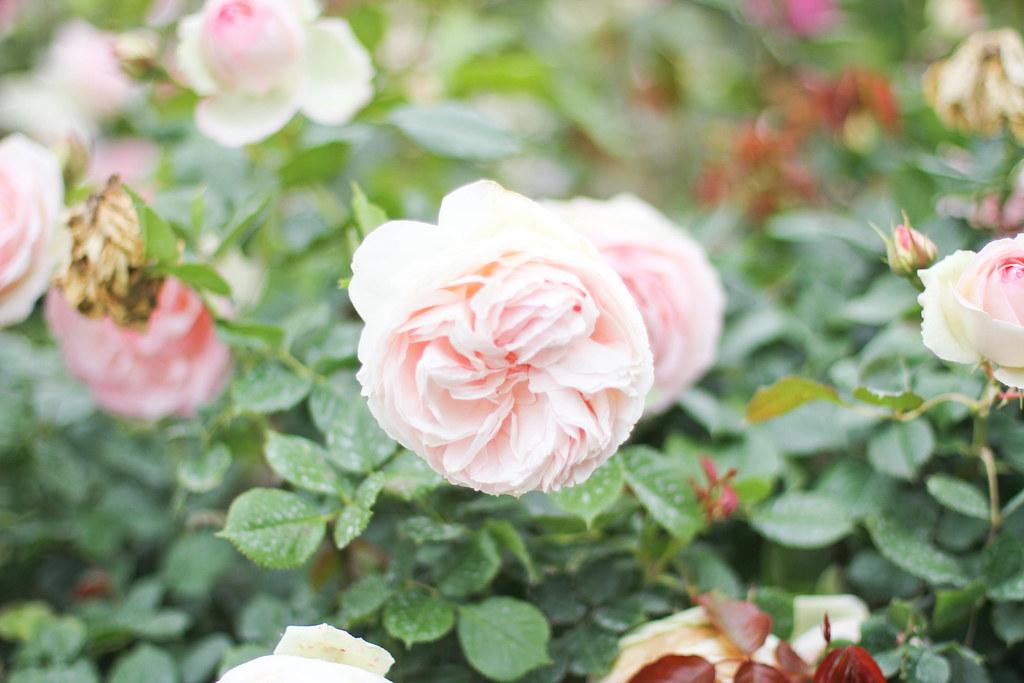 Palais Royal roses-10.jpg